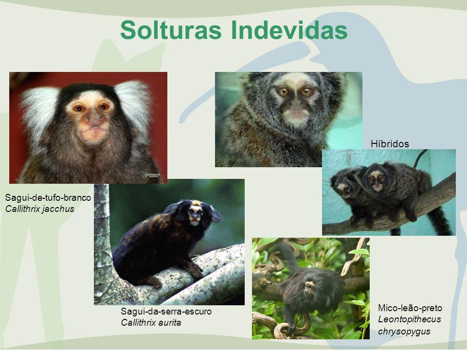 Solturas Indevidas Híbridos Sagui-da-serra-escuro Callithrix aurita Mico-leão-preto Leontopithecus chrysopygus Sagui-de-tufo-branco Callithrix jacchus