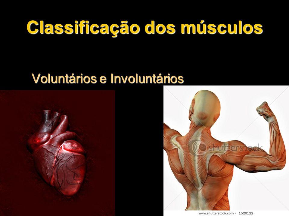 Classificação dos músculos Voluntários e Involuntários Voluntários e Involuntários