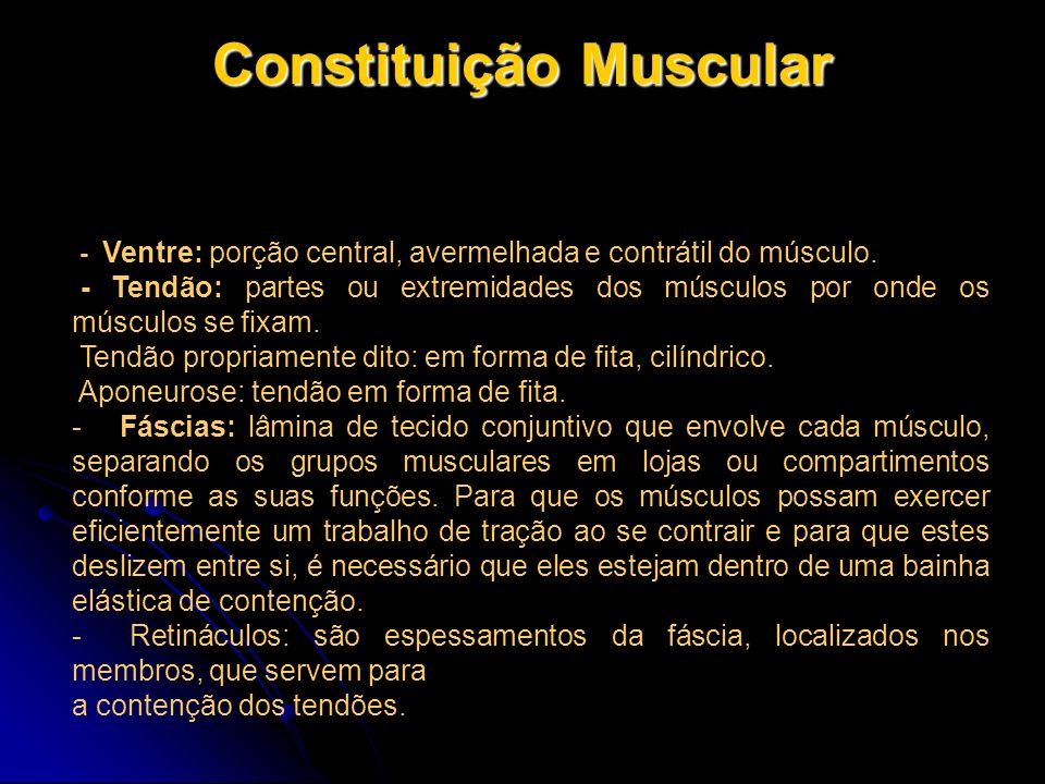 Constituição Muscular - Ventre: porção central, avermelhada e contrátil do músculo. - Tendão: partes ou extremidades dos músculos por onde os músculos