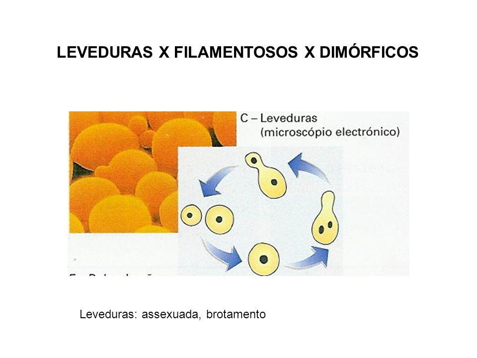 LEVEDURAS X FILAMENTOSOS X DIMÓRFICOS Leveduras: assexuada, brotamento