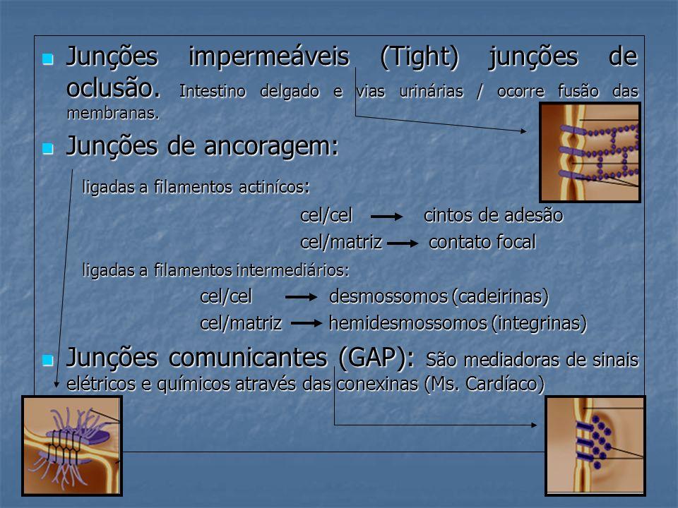 Junções impermeáveis (Tight) junções de oclusão. Intestino delgado e vias urinárias / ocorre fusão das membranas. Junções impermeáveis (Tight) junções