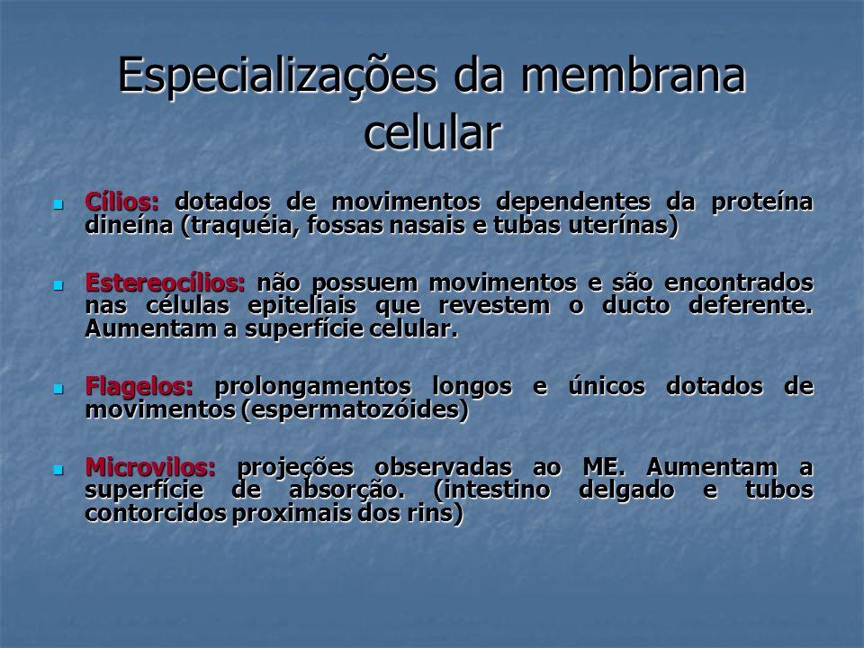 Especializações da membrana celular Cílios: dotados de movimentos dependentes da proteína dineína (traquéia, fossas nasais e tubas uterínas) Cílios: d