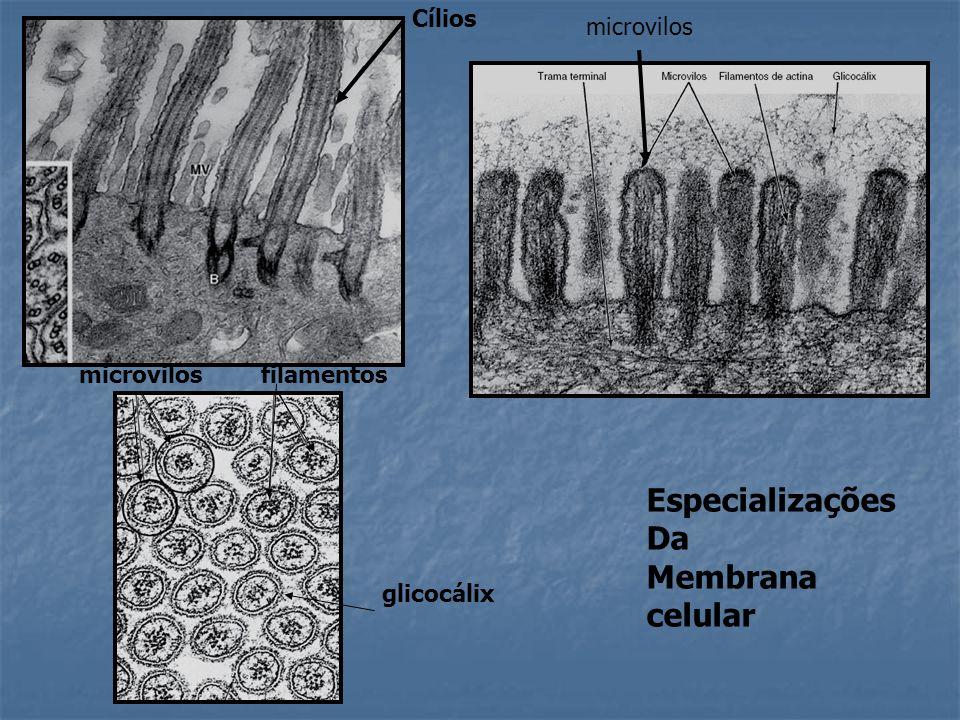 microvilosfilamentos glicocálix Cílios Especializações Da Membrana celular microvilos