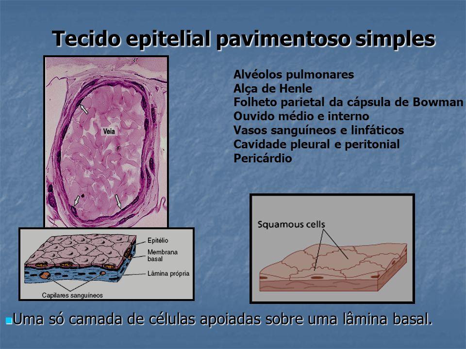 Tecido epitelial pavimentoso simples Uma só camada de células apoiadas sobre uma lâmina basal. Uma só camada de células apoiadas sobre uma lâmina basa