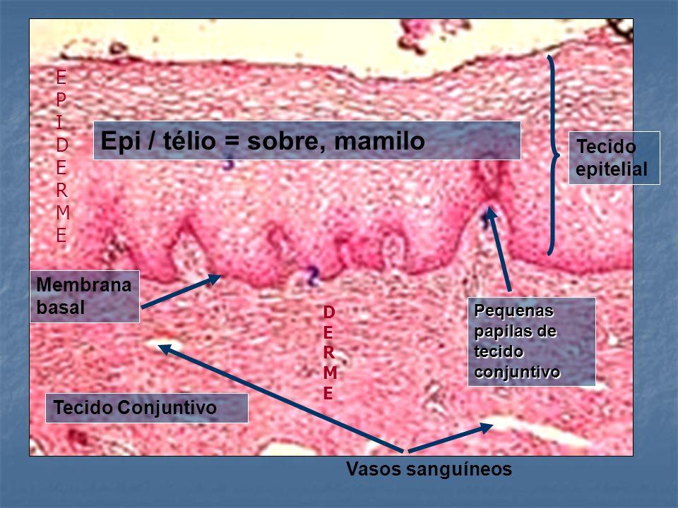 Pequenas papilas de tecido conjuntivo Vasos sanguíneos Tecido epitelial Epi / télio = sobre, mamilo Membrana basal Tecido Conjuntivo EPIDERMEEPIDERME