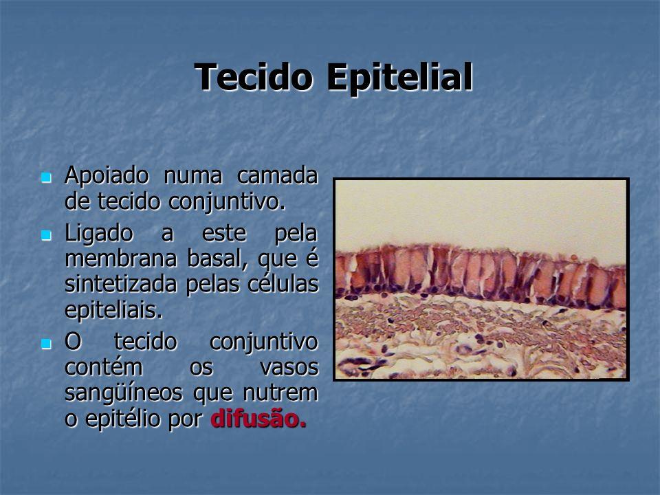 Tecido Epitelial Apoiado numa camada de tecido conjuntivo. Apoiado numa camada de tecido conjuntivo. Ligado a este pela membrana basal, que é sintetiz