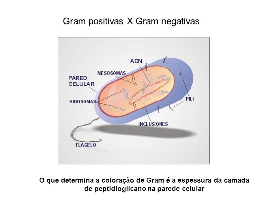 O que determina a coloração de Gram é a espessura da camada de peptidioglicano na parede celular Gram positivas X Gram negativas