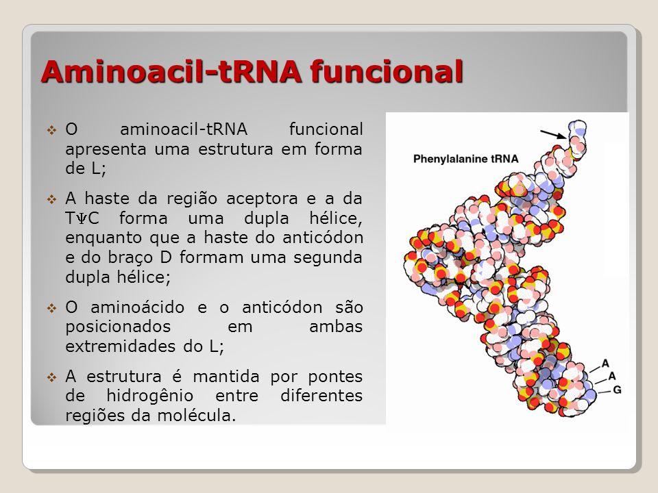 Aminoacil-tRNA sintetase Enzima que sintetiza a ligação do tRNA com o aminoácido (existem, pelo menos, 20 sintetases); Ativação do aminoácido: reage com ATP e libera pirofosfato (PPi); O aminoácido ativado é transferido, então, para o tRNA, formando a aminoacil-tRNA; A enzima aminoacil-tRNA sintetase tem um mecanismo de correção de erro, para evitar a incorporação de um aminoácido incorreto no tRNA.