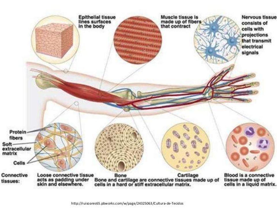 Principais características dos quatro tecidos fundamentais TecidosCélulasMatriz extracelular Funções Epitelial Poliédricas e justapostas Pequena quantidade Revestimento de superfícies e excreção Conjuntivo Vários tipos de células AbundantePreenchimento e proteção Muscular Alongadas e contráteis Quantidade moderada Movimento Nervoso Longos prolongamentos NenhumaTransmissão de impulsos nervosos