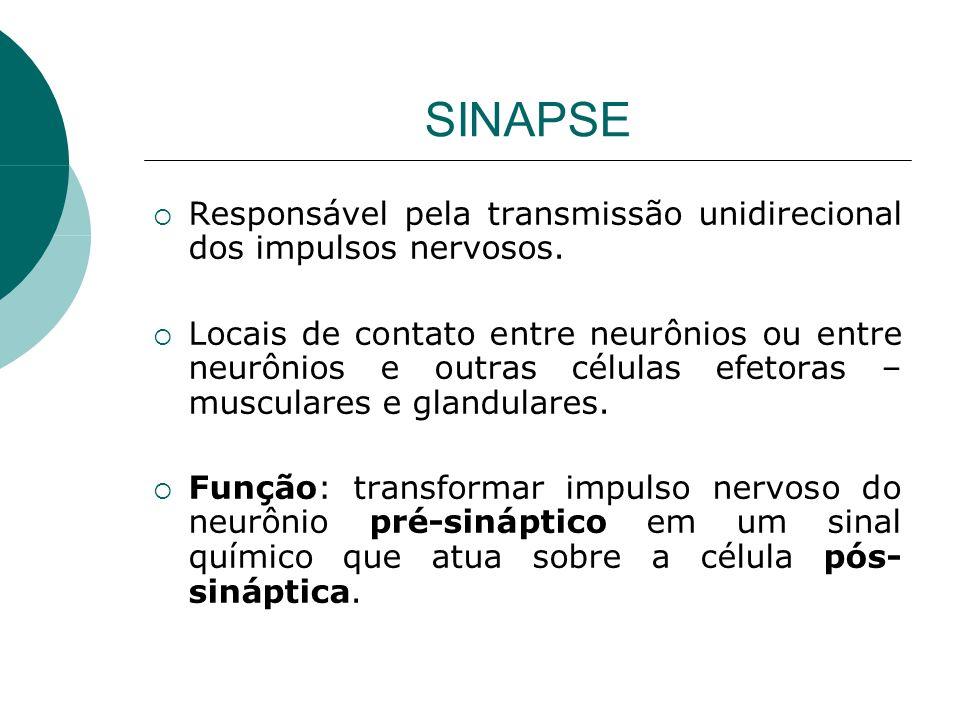 SINAPSE Responsável pela transmissão unidirecional dos impulsos nervosos. Locais de contato entre neurônios ou entre neurônios e outras células efetor