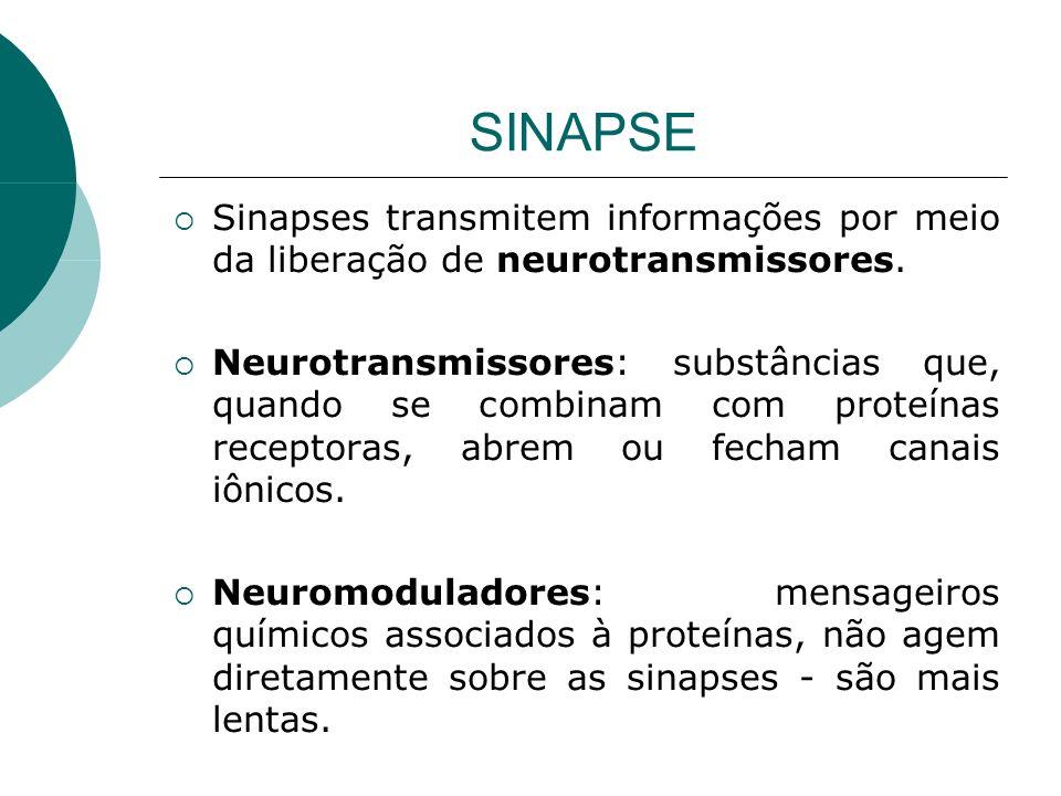 SINAPSE Sinapses transmitem informações por meio da liberação de neurotransmissores. Neurotransmissores: substâncias que, quando se combinam com prote