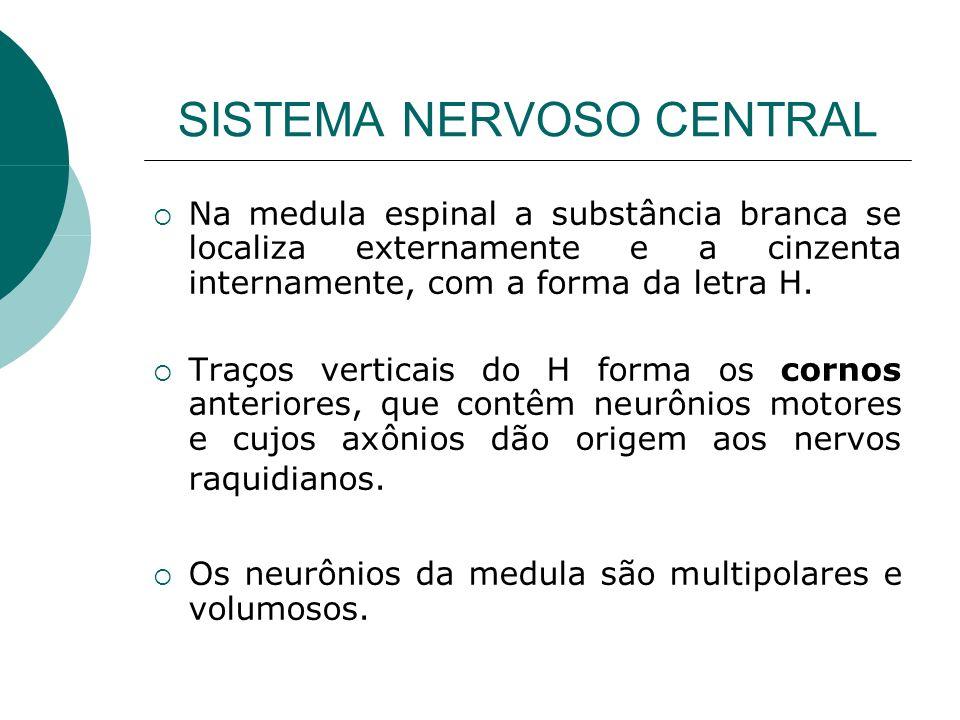 SISTEMA NERVOSO CENTRAL Na medula espinal a substância branca se localiza externamente e a cinzenta internamente, com a forma da letra H. Traços verti
