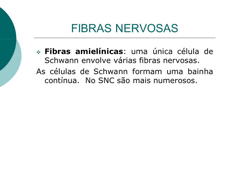FIBRAS NERVOSAS Fibras amielínicas: uma única célula de Schwann envolve várias fibras nervosas. As células de Schwann formam uma bainha contínua. No S