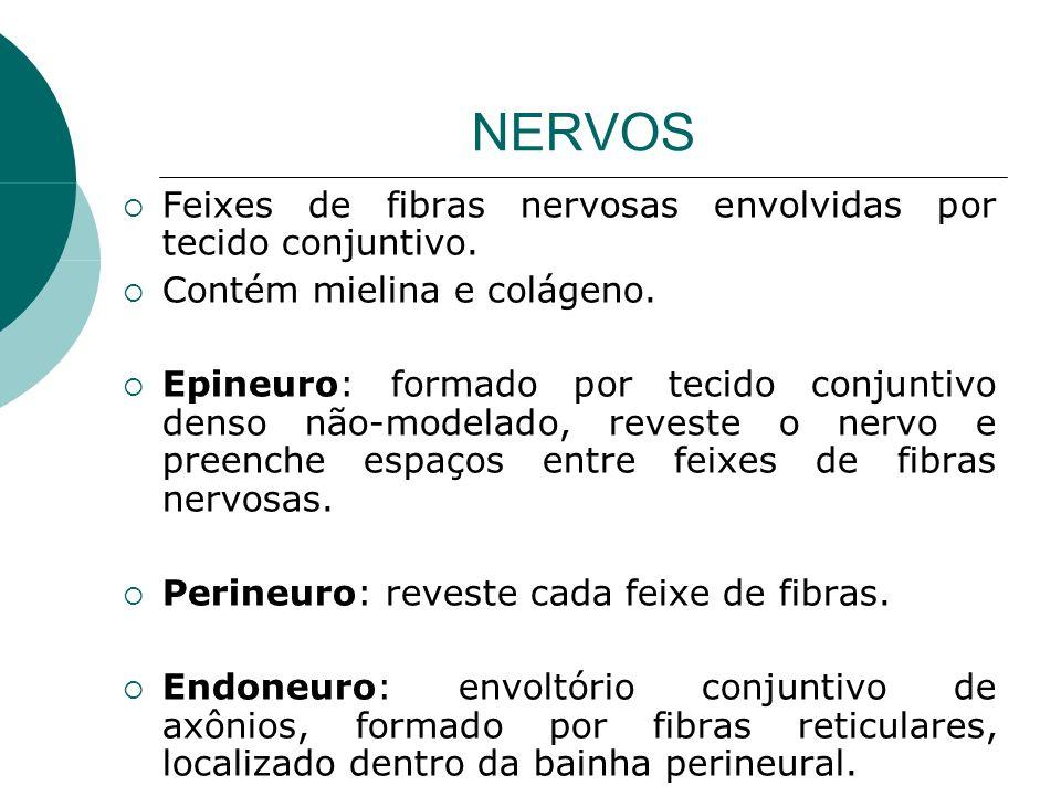 NERVOS Feixes de fibras nervosas envolvidas por tecido conjuntivo. Contém mielina e colágeno. Epineuro: formado por tecido conjuntivo denso não-modela