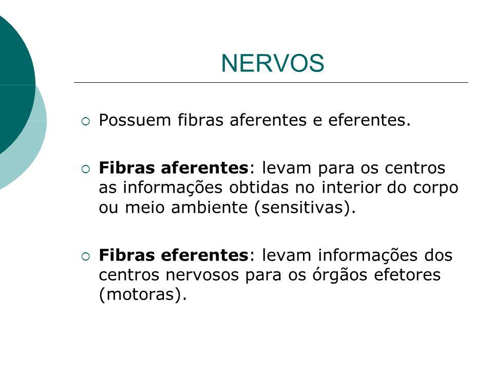 NERVOS Possuem fibras aferentes e eferentes. Fibras aferentes: levam para os centros as informações obtidas no interior do corpo ou meio ambiente (sen