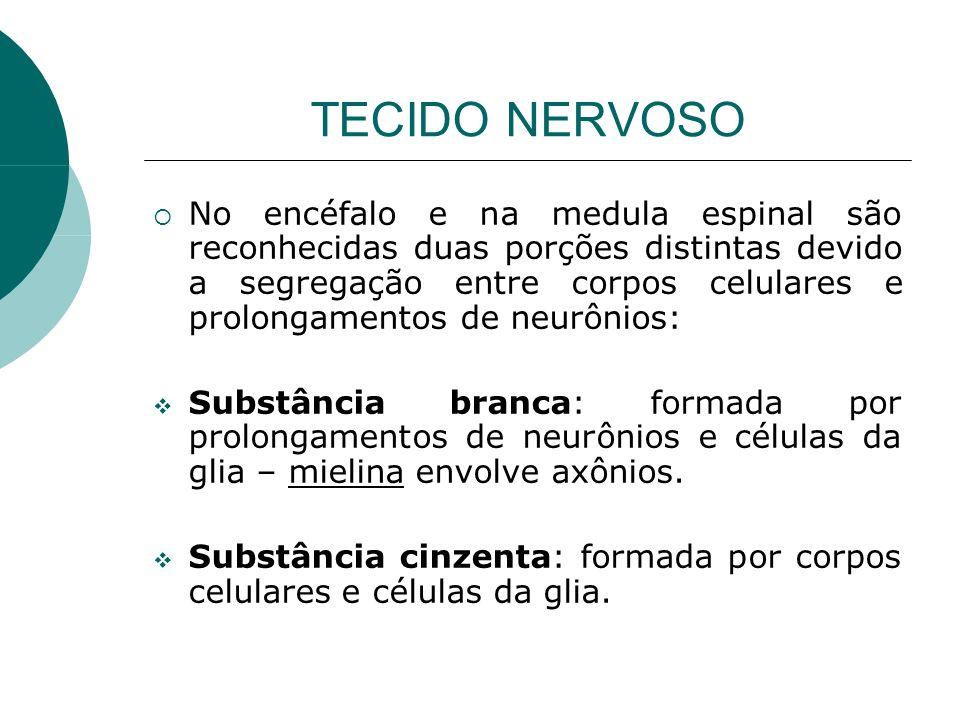 TECIDO NERVOSO No encéfalo e na medula espinal são reconhecidas duas porções distintas devido a segregação entre corpos celulares e prolongamentos de