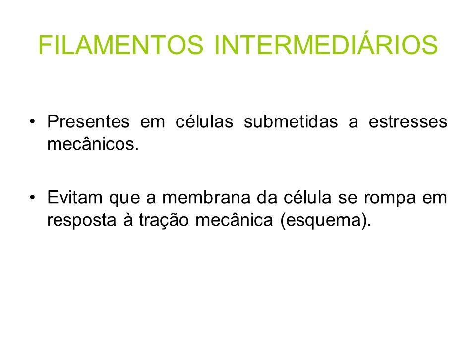 FILAMENTOS INTERMEDIÁRIOS Presentes em células submetidas a estresses mecânicos. Evitam que a membrana da célula se rompa em resposta à tração mecânic