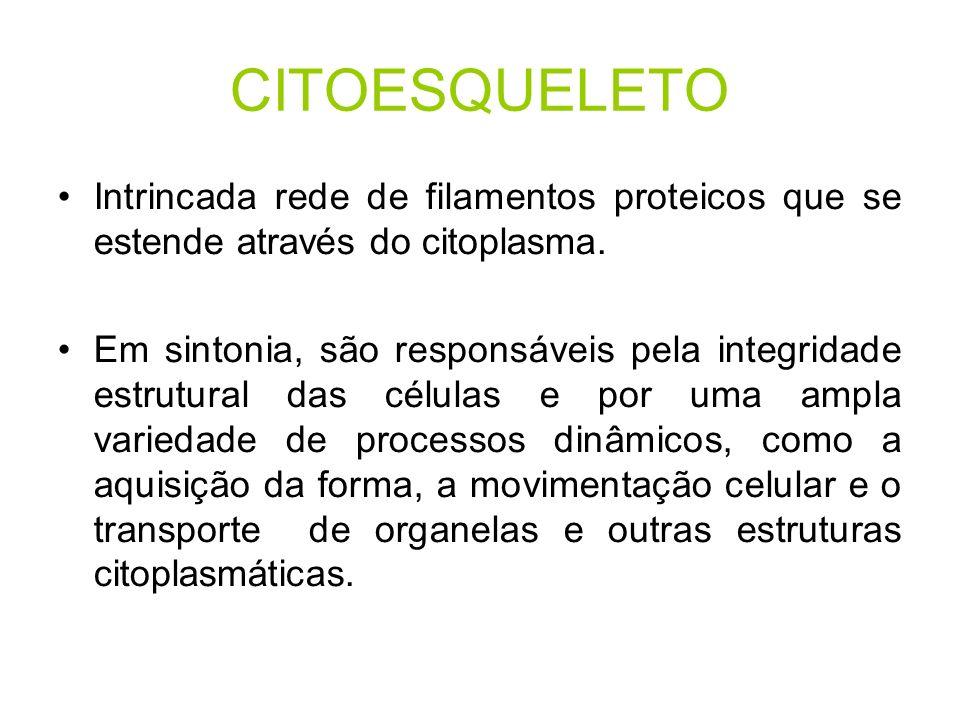 CITOESQUELETO Intrincada rede de filamentos proteicos que se estende através do citoplasma. Em sintonia, são responsáveis pela integridade estrutural