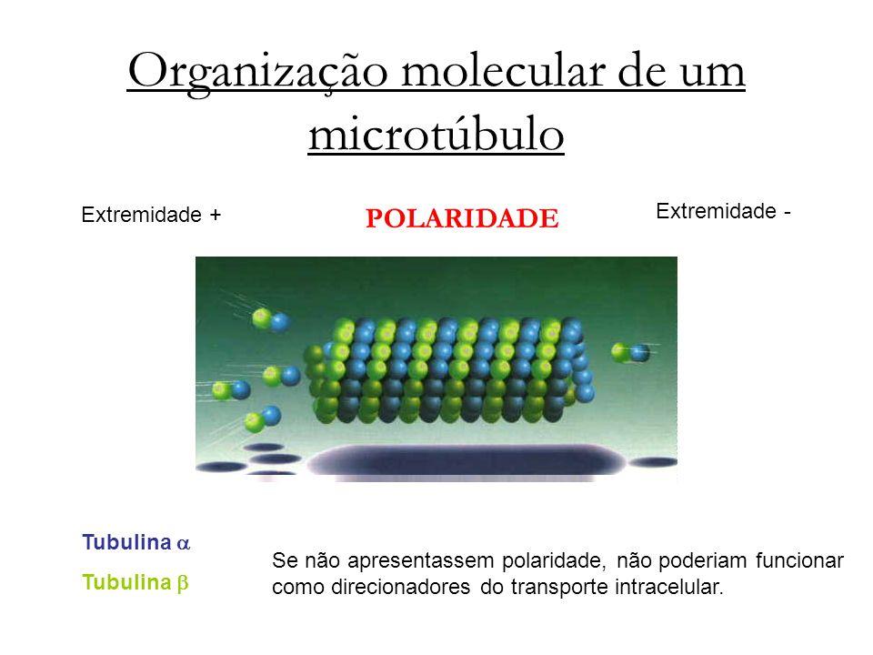 Organização molecular de um microtúbulo Tubulina Extremidade - Extremidade + POLARIDADE Se não apresentassem polaridade, não poderiam funcionar como d