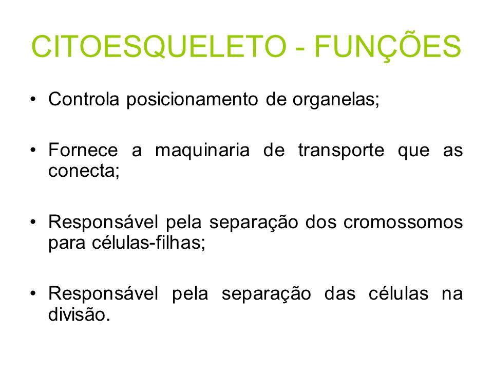 CITOESQUELETO - FUNÇÕES Controla posicionamento de organelas; Fornece a maquinaria de transporte que as conecta; Responsável pela separação dos cromos