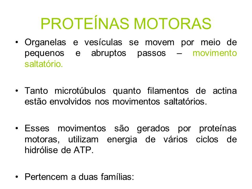 PROTEÍNAS MOTORAS Organelas e vesículas se movem por meio de pequenos e abruptos passos – movimento saltatório. Tanto microtúbulos quanto filamentos d