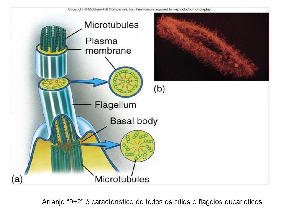 Arranjo 9+2 é característico de todos os cílios e flagelos eucarióticos.
