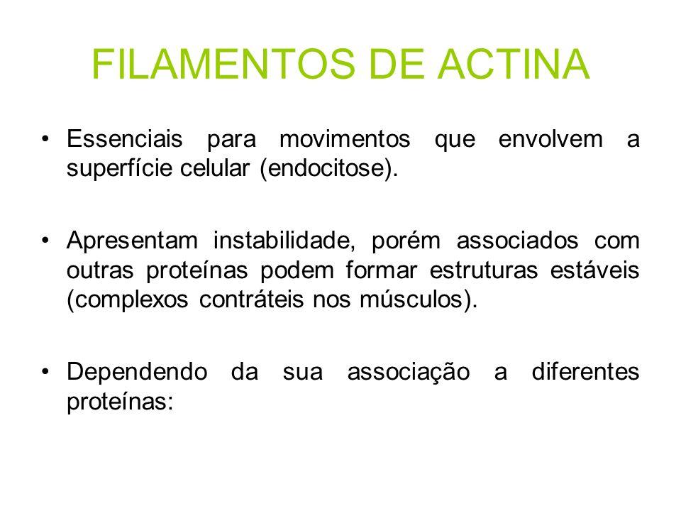 FILAMENTOS DE ACTINA Essenciais para movimentos que envolvem a superfície celular (endocitose). Apresentam instabilidade, porém associados com outras