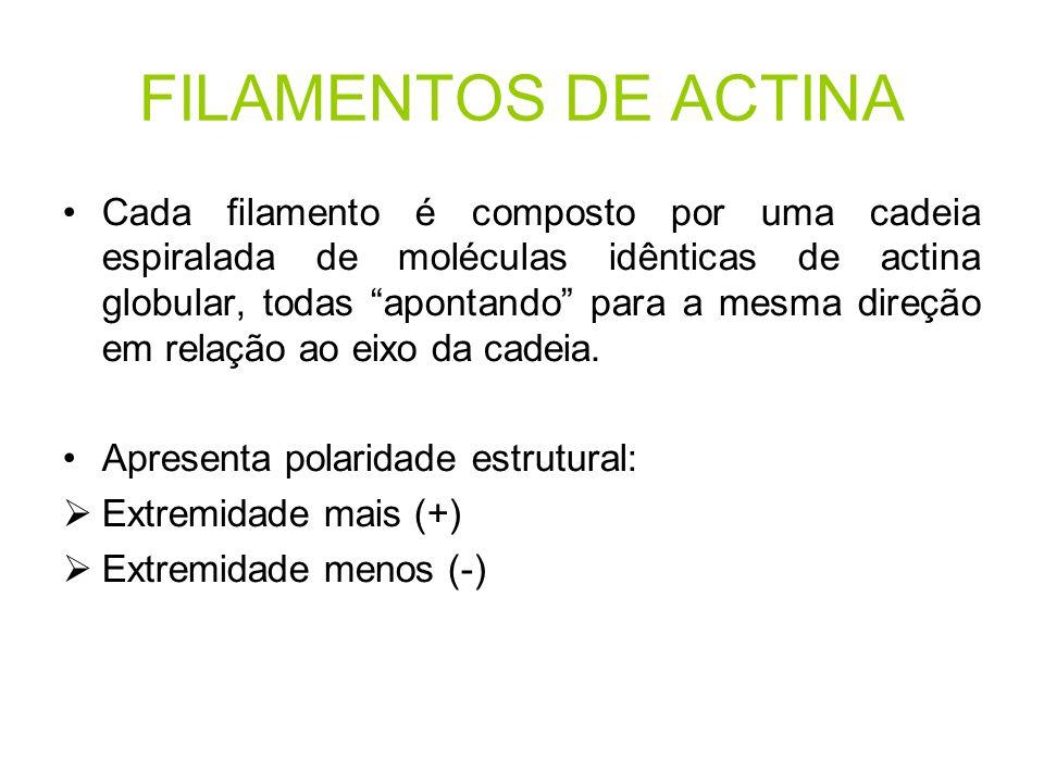 FILAMENTOS DE ACTINA Cada filamento é composto por uma cadeia espiralada de moléculas idênticas de actina globular, todas apontando para a mesma direç