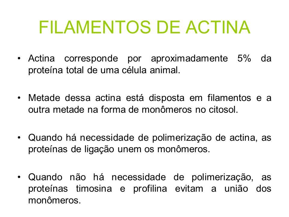 FILAMENTOS DE ACTINA Actina corresponde por aproximadamente 5% da proteína total de uma célula animal. Metade dessa actina está disposta em filamentos