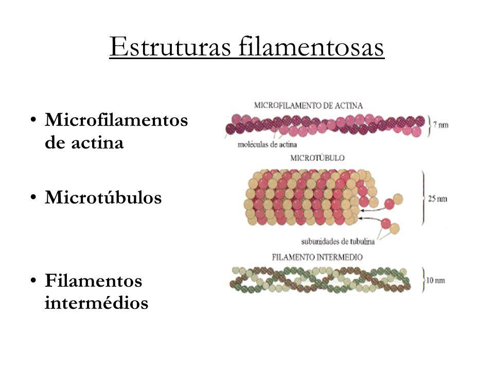 Estruturas filamentosas Microfilamentos de actina Microtúbulos Filamentos intermédios