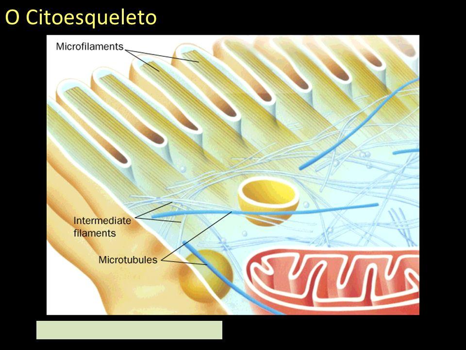 ComponentesTamanhoProteínaAtividades Microtúbulos~25nmTubulina Formação do fuso mitótico, transporte de vesículas e outras organelas, formação de cílios, flagelos, centríolos e corpúsculos basais (cílios).