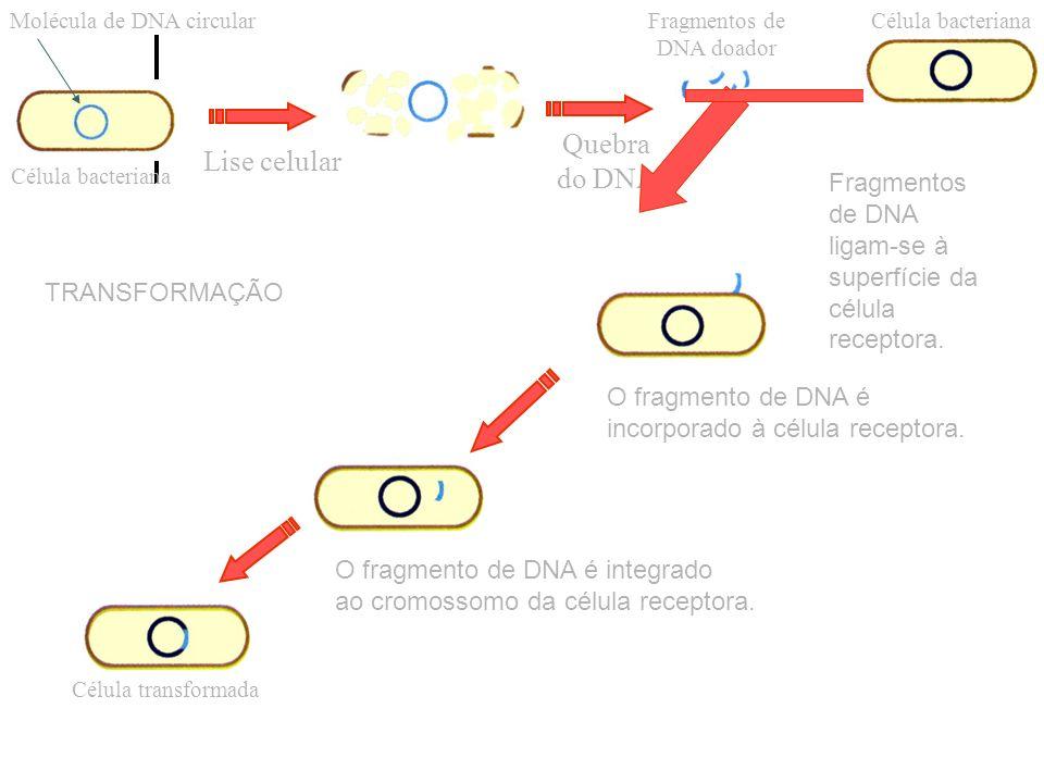 Célula bacteriana Molécula de DNA circular Lise celular Quebra do DNA Fragmentos de DNA doador Célula bacteriana Fragmentos de DNA ligam-se à superfíc
