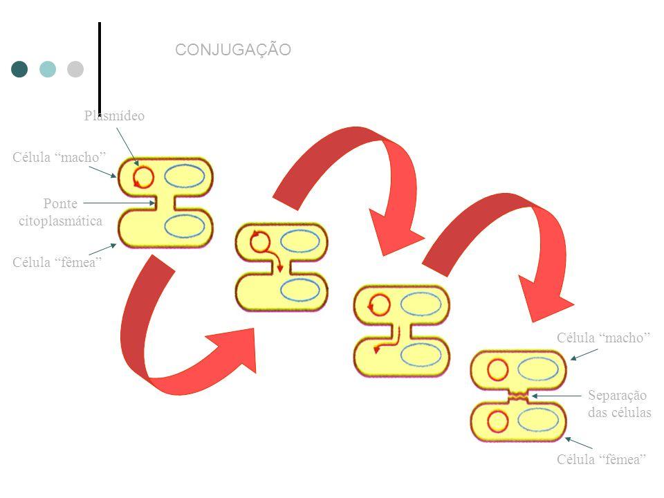 Plasmídeo Célula macho Ponte citoplasmática Célula fêmea Célula macho Célula fêmea Separação das células CONJUGAÇÃO