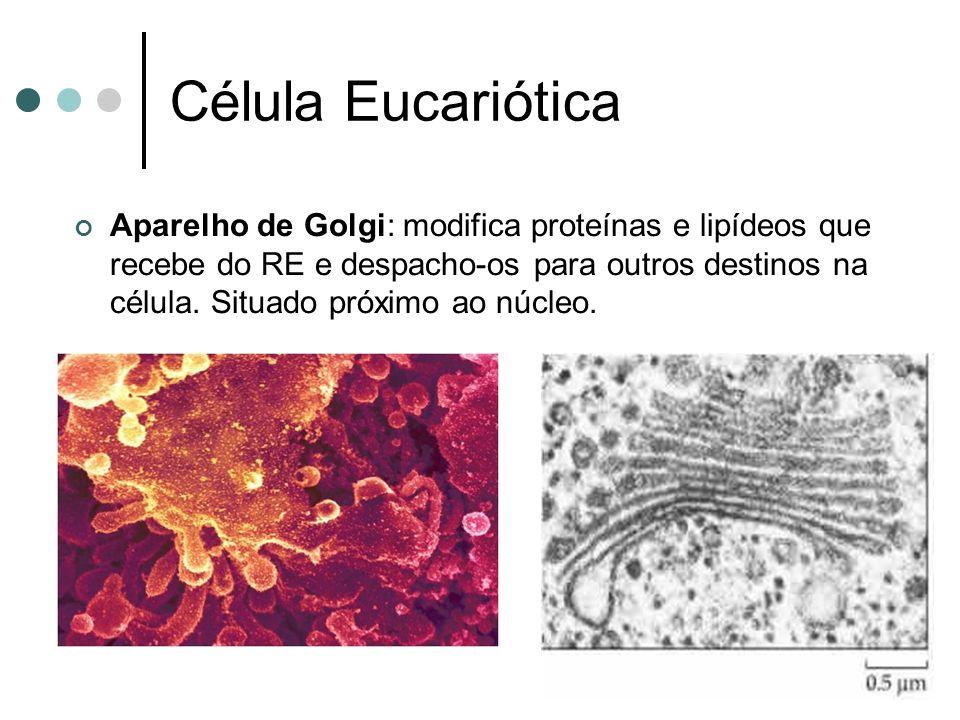 Célula Eucariótica Aparelho de Golgi: modifica proteínas e lipídeos que recebe do RE e despacho-os para outros destinos na célula. Situado próximo ao