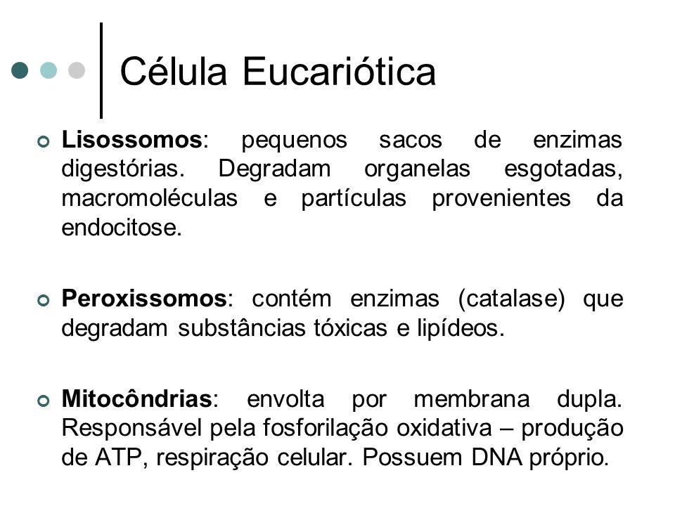 Célula Eucariótica Lisossomos: pequenos sacos de enzimas digestórias. Degradam organelas esgotadas, macromoléculas e partículas provenientes da endoci