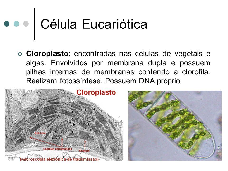 Célula Eucariótica Cloroplasto: encontradas nas células de vegetais e algas. Envolvidos por membrana dupla e possuem pilhas internas de membranas cont