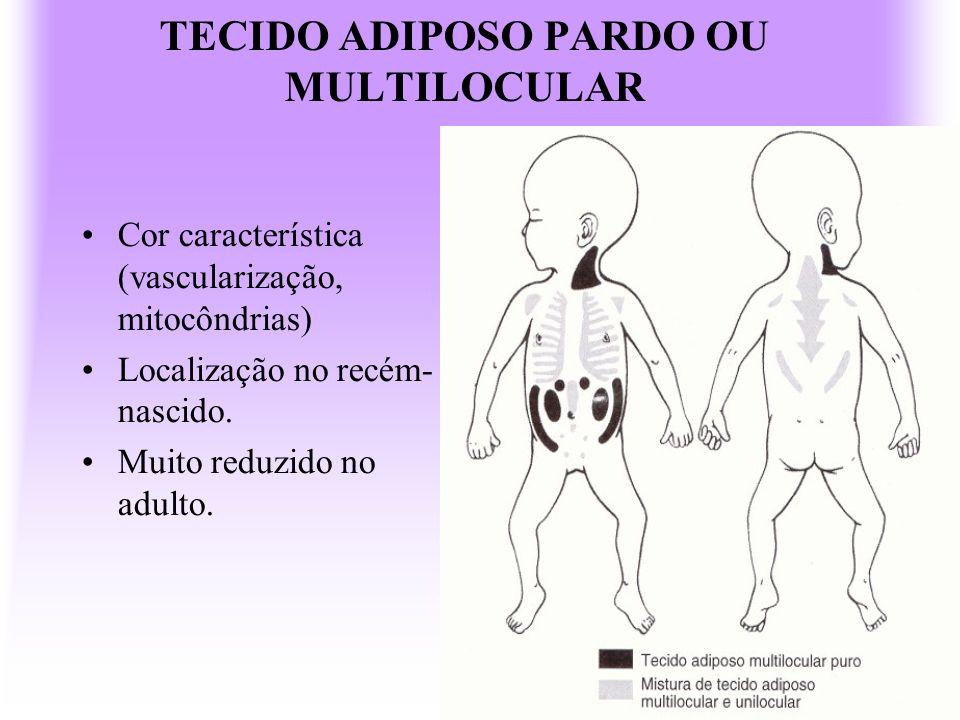 TECIDO ADIPOSO PARDO OU MULTILOCULAR Cor característica (vascularização, mitocôndrias) Localização no recém- nascido. Muito reduzido no adulto.