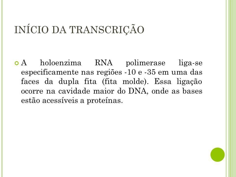 INÍCIO DA TRANSCRIÇÃO A holoenzima RNA polimerase liga-se especificamente nas regiões -10 e -35 em uma das faces da dupla fita (fita molde). Essa liga