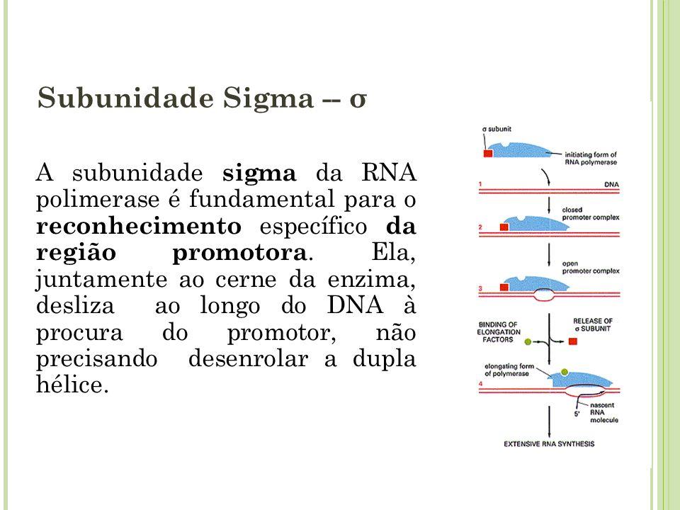 Subunidade Sigma -- σ A subunidade sigma da RNA polimerase é fundamental para o reconhecimento específico da região promotora. Ela, juntamente ao cern