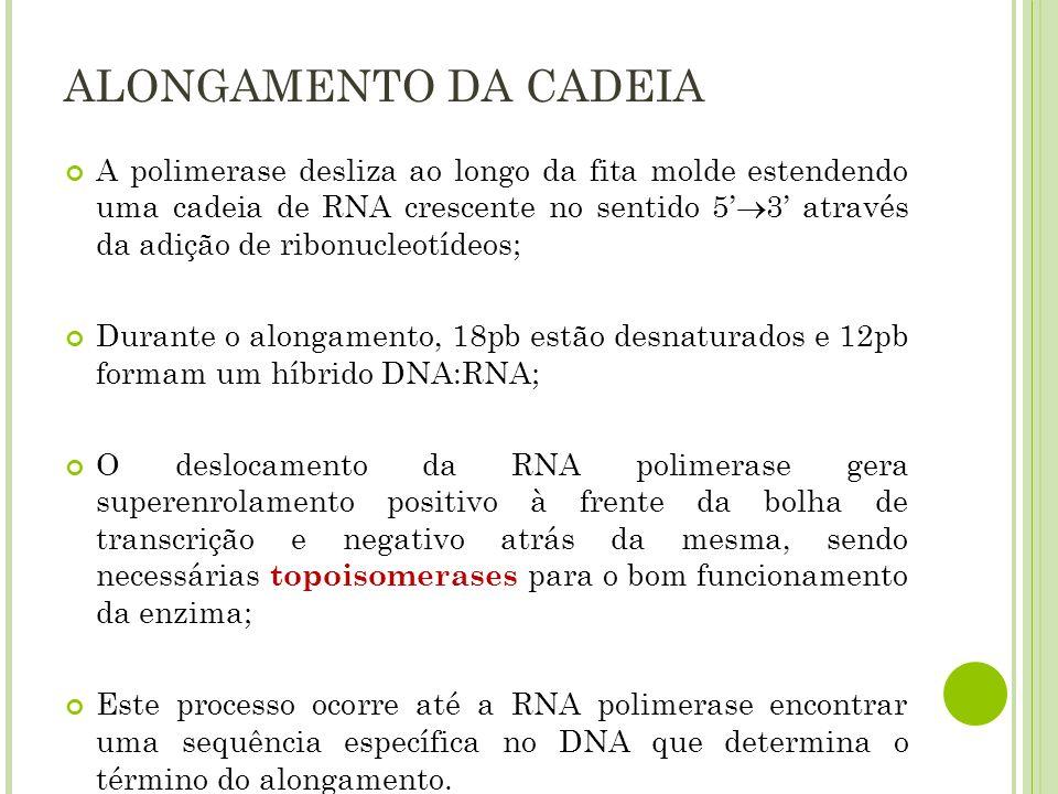 ALONGAMENTO DA CADEIA A polimerase desliza ao longo da fita molde estendendo uma cadeia de RNA crescente no sentido 5 3 através da adição de ribonucle