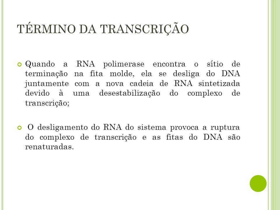 TÉRMINO DA TRANSCRIÇÃO Quando a RNA polimerase encontra o sítio de terminação na fita molde, ela se desliga do DNA juntamente com a nova cadeia de RNA