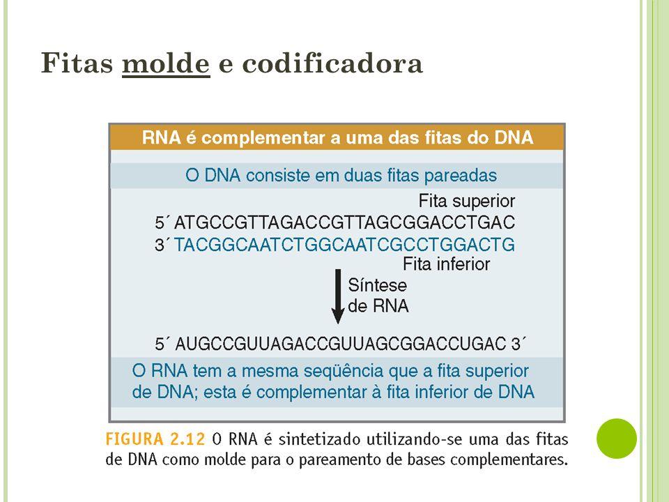 O molde é local Genes podem ser transcritos utilizando uma das fitas de DNA como molde, enquanto outros podem utilizar a outra fita do DNA.