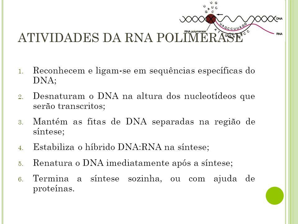 ATIVIDADES DA RNA POLIMERASE 1. Reconhecem e ligam-se em sequências específicas do DNA; 2. Desnaturam o DNA na altura dos nucleotídeos que serão trans