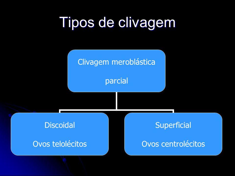 Tipos de clivagem Clivagem meroblástica parcial Discoidal Ovos telolécitos Superficial Ovos centrolécitos