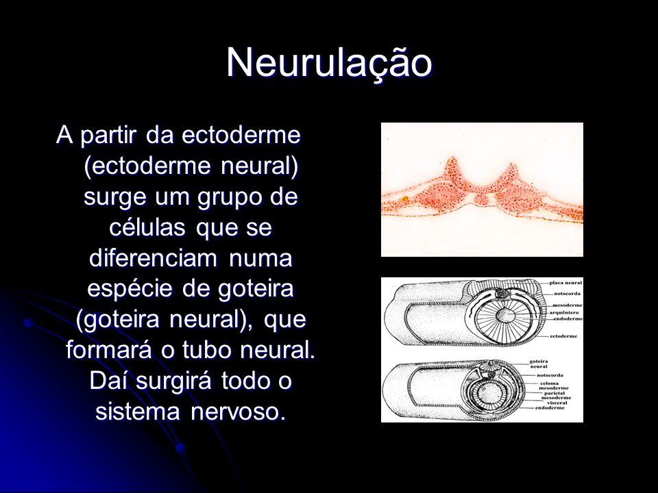 Neurulação A partir da ectoderme (ectoderme neural) surge um grupo de células que se diferenciam numa espécie de goteira (goteira neural), que formará