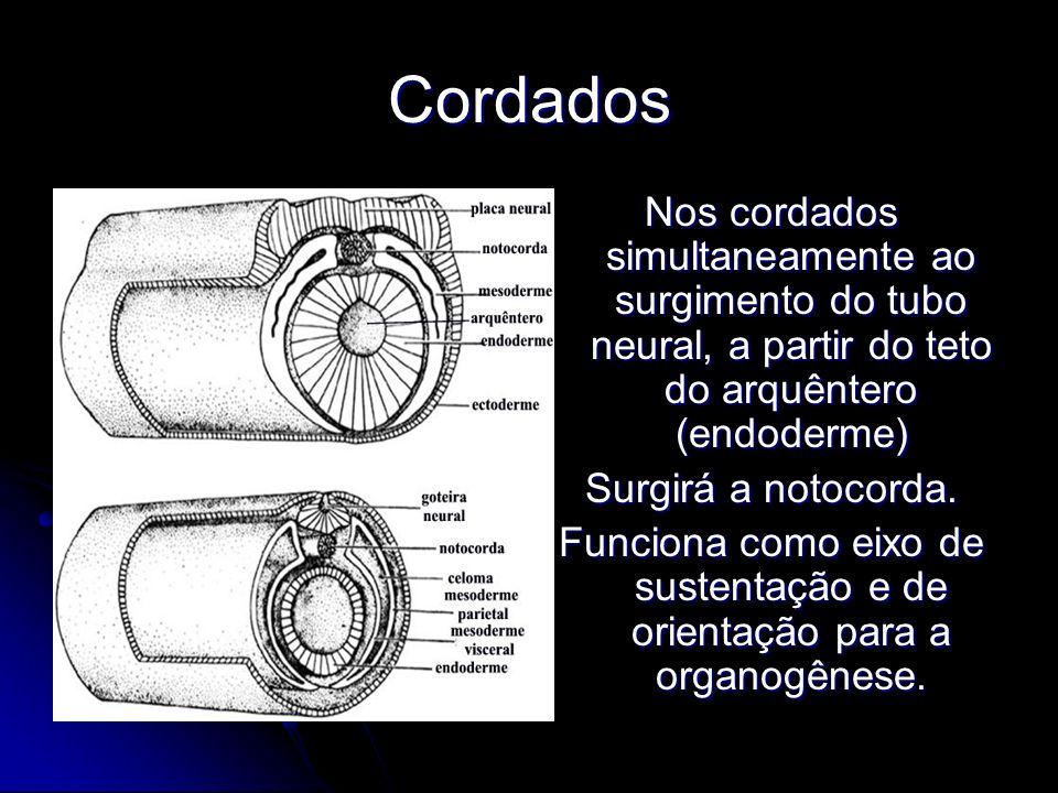 Cordados Nos cordados simultaneamente ao surgimento do tubo neural, a partir do teto do arquêntero (endoderme) Surgirá a notocorda. Funciona como eixo