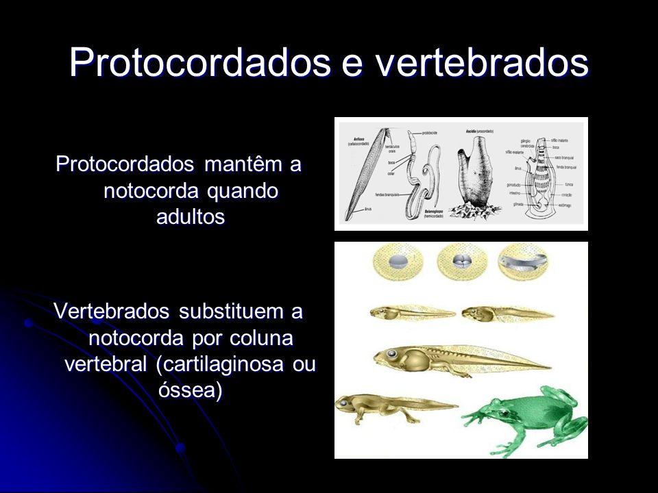 Protocordados e vertebrados Protocordados mantêm a notocorda quando adultos Vertebrados substituem a notocorda por coluna vertebral (cartilaginosa ou