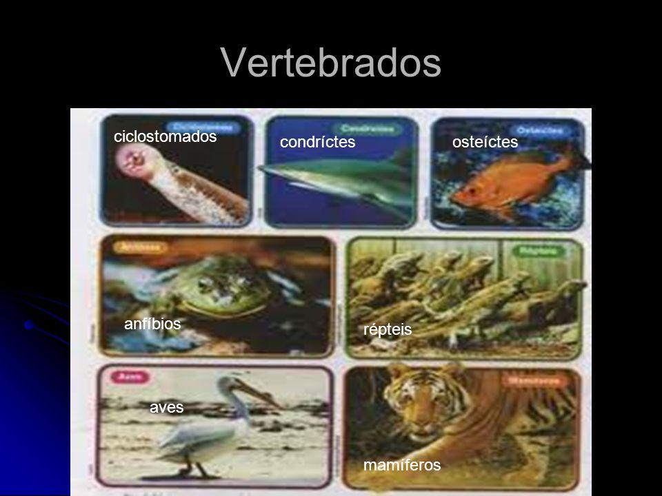 Vertebrados ciclostomados condríctesosteíctes anfíbios répteis aves mamíferos
