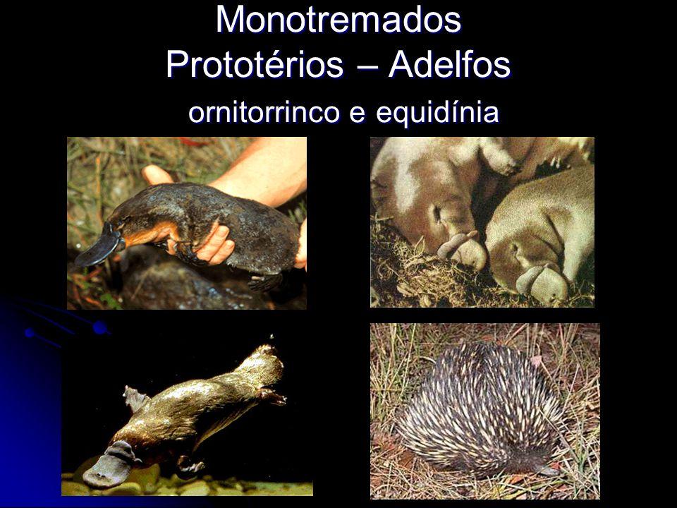 Monotremados Prototérios – Adelfos ornitorrinco e equidínia