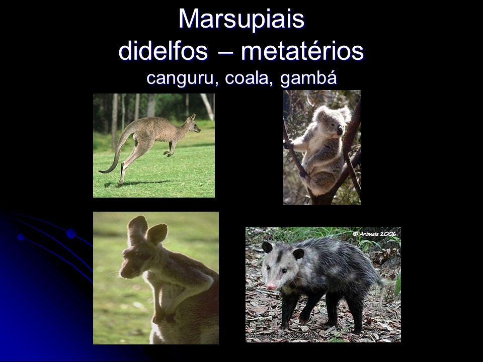 Marsupiais didelfos – metatérios canguru, coala, gambá